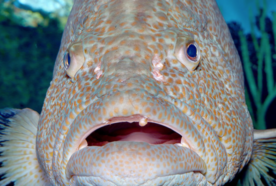 trumps-grouper-mouth.png