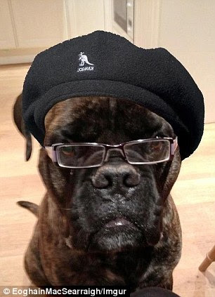 He ain't rolling over: Dogson, left, has left fans doubled up for his likeness to Hollywood star Samuel L Jackson. It is unclear who originally posted the picture along with photo-shopped hat and glasses online