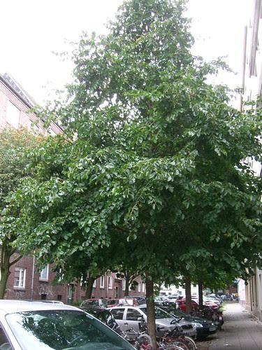Baum-Hasel ganzer Baum