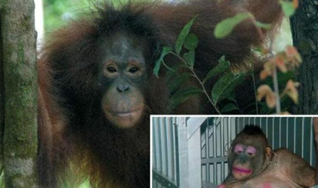 Seks Kölesi Olarak Kullanılan Orangutan Pony'nin Kurtuluş Öyküsü ...