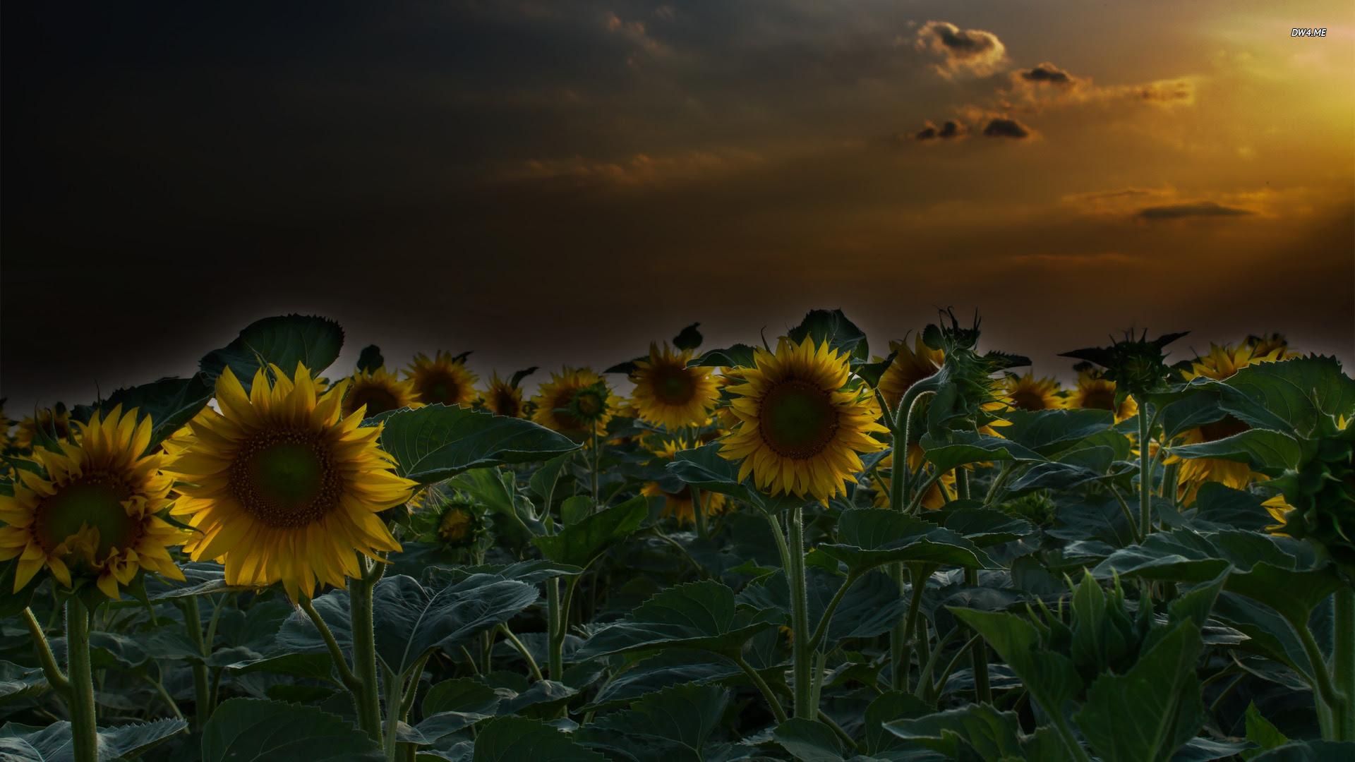 Field of Sunflowers Wallpaper - WallpaperSafari