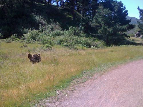 turkey-strutting-along-road.jpg