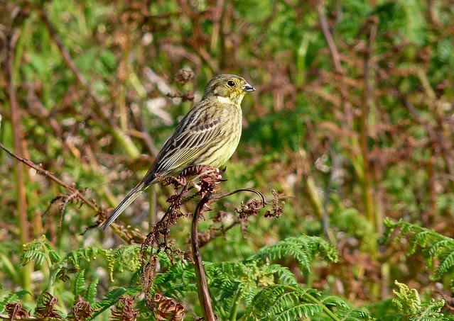 24527 - Yellowhammer, Isle of Mull