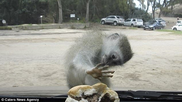 Confused Monkey Tries To Steal A Burger Through A Car Windscreen (Pics, Video)