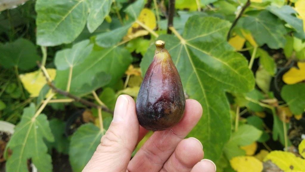 cuttings fig tree 2 x ABEBEREIRA