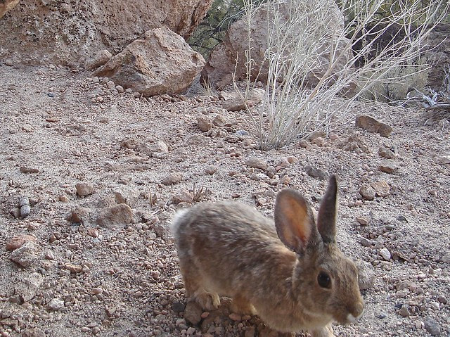 mtn cottontail