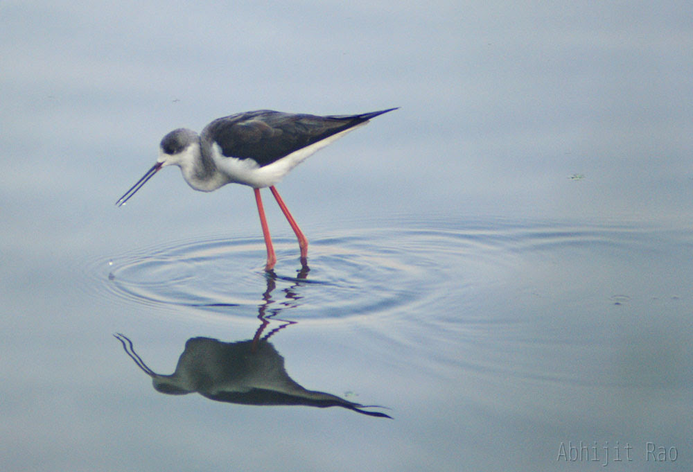 Black Winged Stilt, (Marathi: Shekatya)