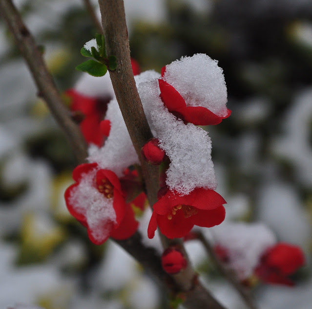 Chaenomeles in Snow