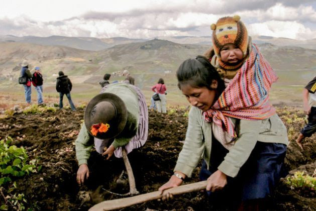 Two farmers pick potatoes in Pampas, 3,276 meters above sea level, in the Andean region of Huancavelica, in central Peru, during a visit by specialists who accompanied IPS to the area that is home to the largest variety of native potatoes in the country. From Peru, potatoes spread throughout the entire world. Credit: Mariela Pereira / IPS