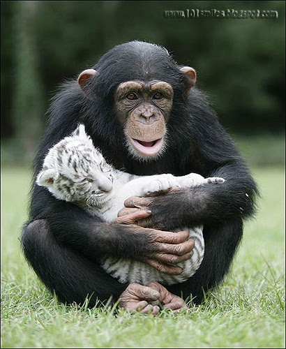 Friendship animals.  Chimpanzee with a cub