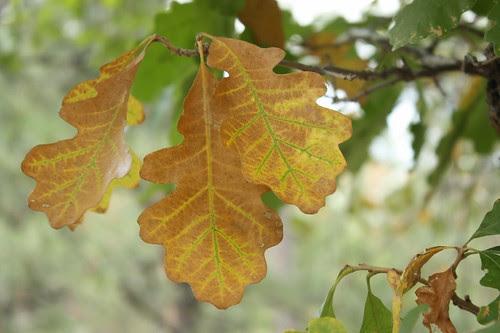 Oak Leaves 20Sep09
