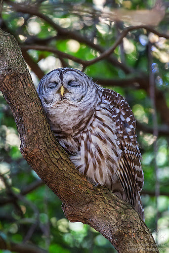 Barred Owl Sleeping in Rhododendron, Seattle Arboretum