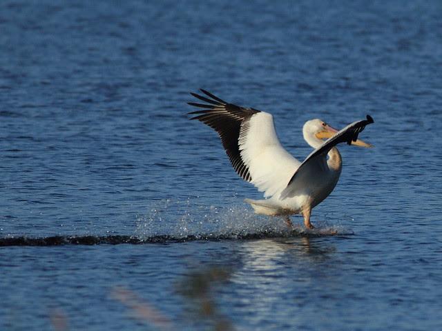 Pelican water ski landing 20121201