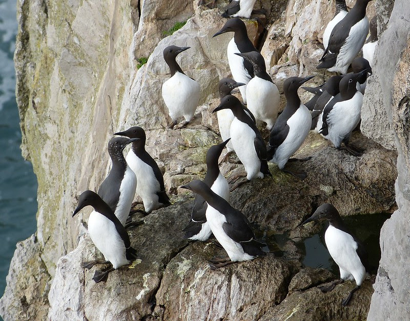 29043 - Guillemots, Stackpole Head