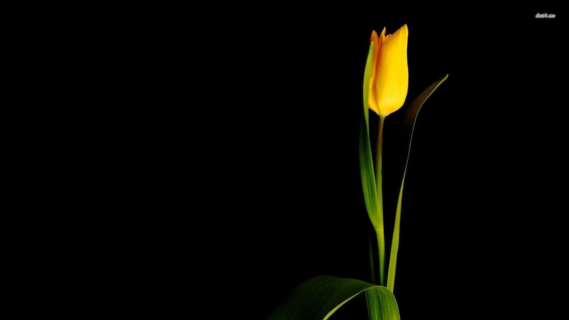 Tulip Wallpapers Wallpaper Cave