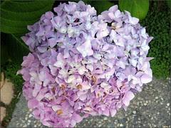 Should I be lavender or pink?