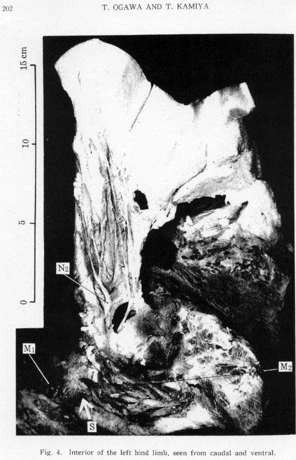 Hind Limb from Whale - Example #3, Figure#7
