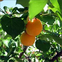 Last of the Blenheim apricots