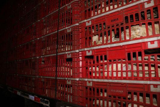 Nove toneladas de frangos vivos foram apreendidas durante ação | Foto: Divulgação/SSP