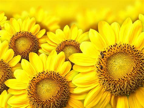 yellow sunflower background wallpaperscom