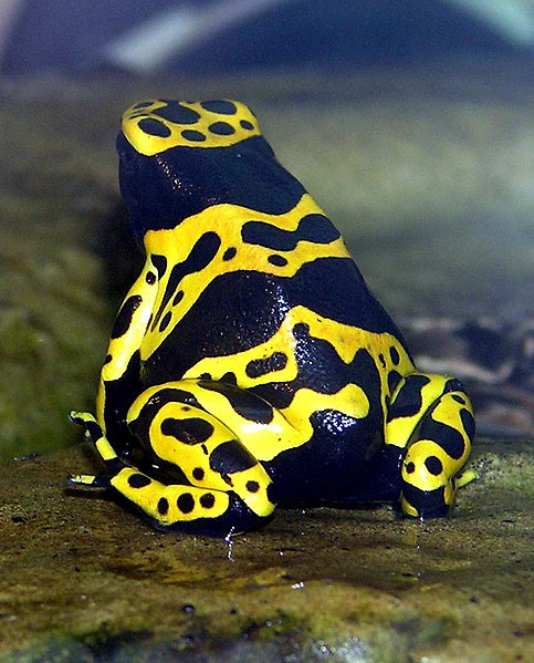 File:Yellow-banded.poison.dart.frog.arp.jpg