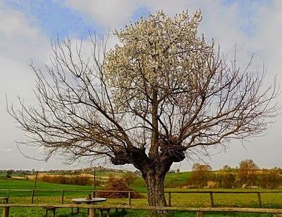 Ini yaitu pohon murbei dimana di atasnya tumbuh  pohon ceri Pohon yang Tumbuh Diatas Pohon