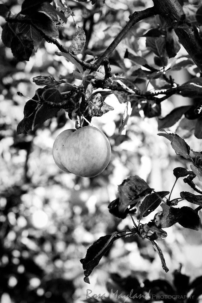 Apple Tree, Felseberg