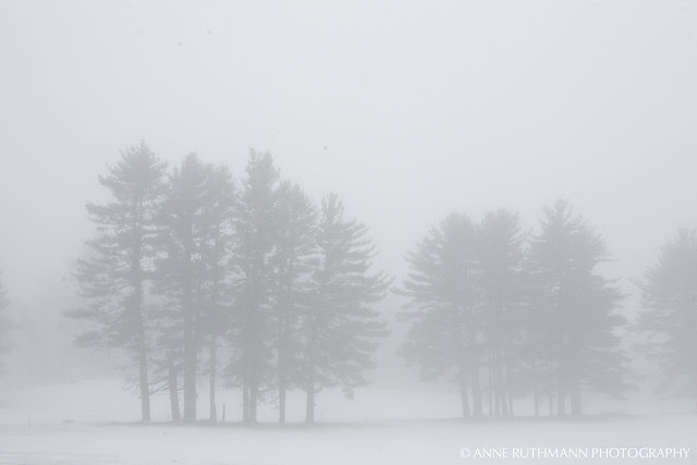 Distant Evergreens in Fog