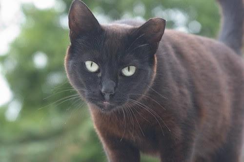 Curious Black Feral Cat
