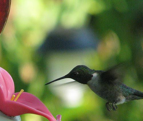 beija-flores