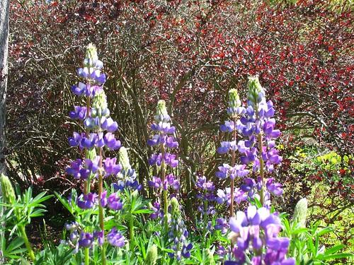 Lupine in front of Berberis thunbergii (Blake Garden)