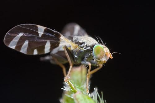 Sphaeniscus sp. fly...IMG_6998 copy