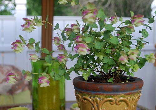 Ornamental Oregano 1