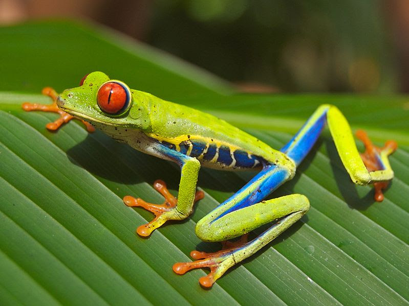 File:Red eyed tree frog edit2.jpg
