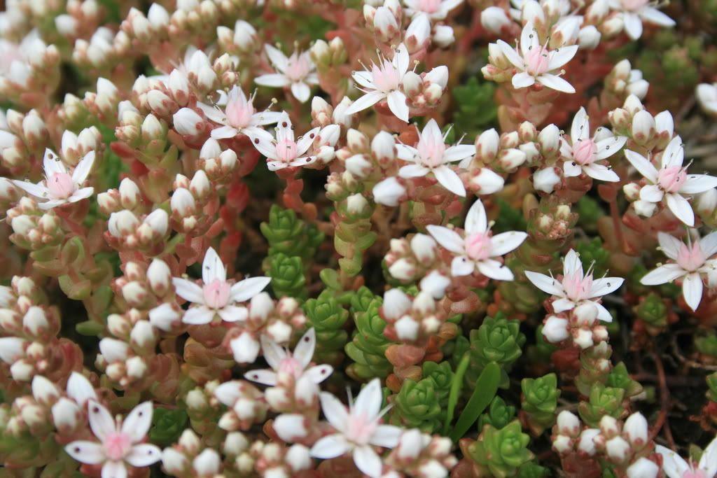 ...flere blomster på Havreneståa...