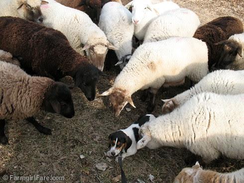Meet the Sheep Day 11