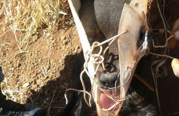 Cão não conseguia se alimentar e nem tomar água com o cone preso à cabeça (Foto: Divulgação/PM)
