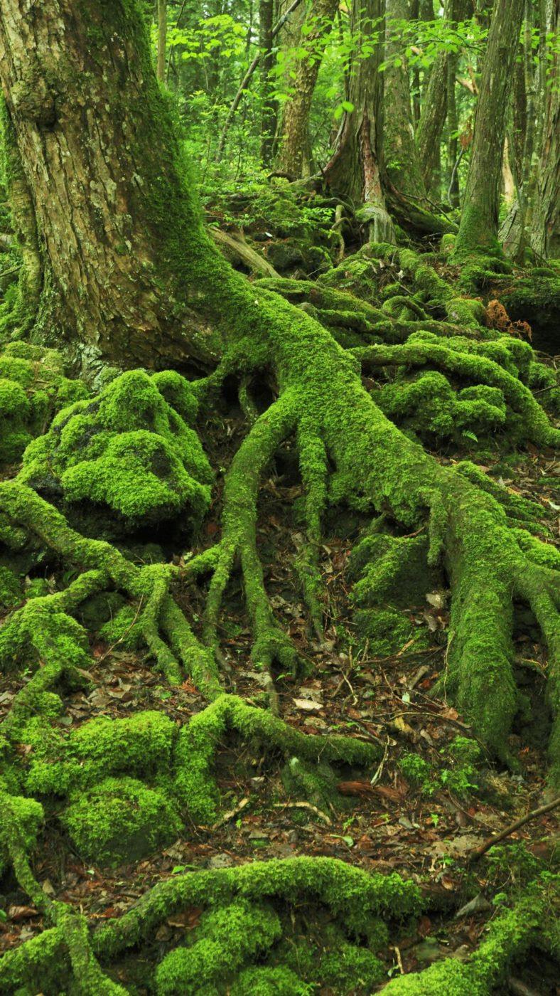Aokigahara sea of trees