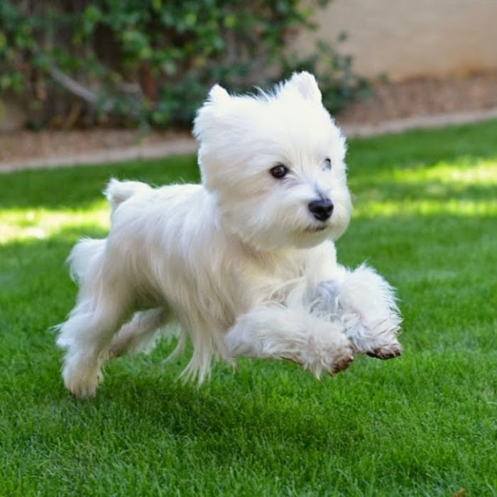 West Highland White Terrier, Dogs, Westie Puppies In Kentucky USA