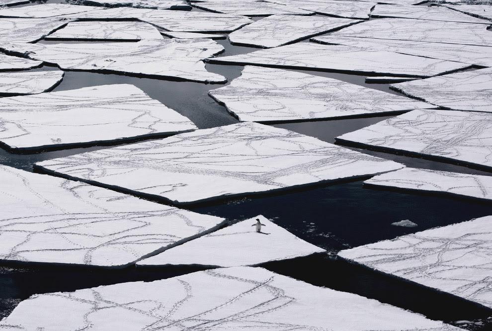 Пингвин Адели на дрейфующих льдах в море Росса в Антарктиде