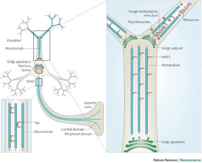 Dibujo20090601_microtubule_organization_neuron_axon_dendrites_(C)_nature_reviews_neuroscience
