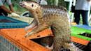 Coronavirus: Pangolins found to carry viruses related to Covid-19