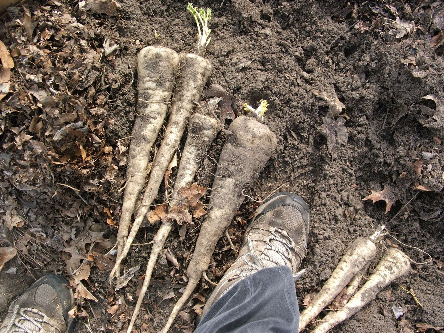 Larger Than Feet Parsnips by Angie Ouellette-Tower for godsgrowinggarden.com photo 011_zpsa04307c6.jpg