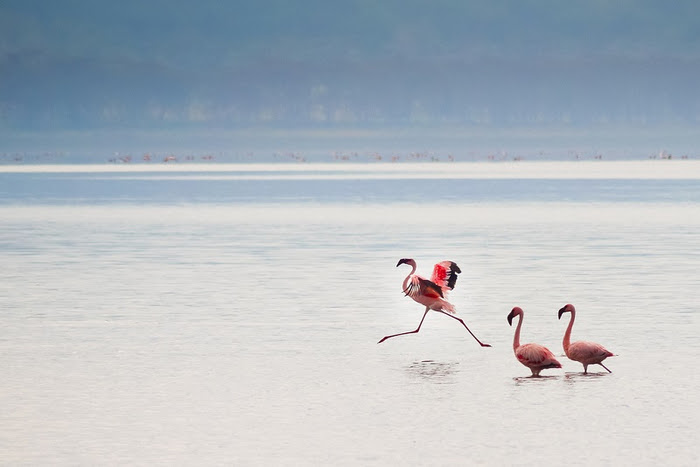 7 Pink flamingos on Lake Nakuru in Kenya (800x567, 198Kb)