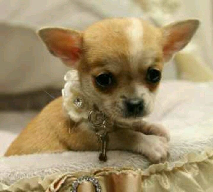 Puppyfinder.com: Chihuahua dogs for adoption near me in Delaware USA