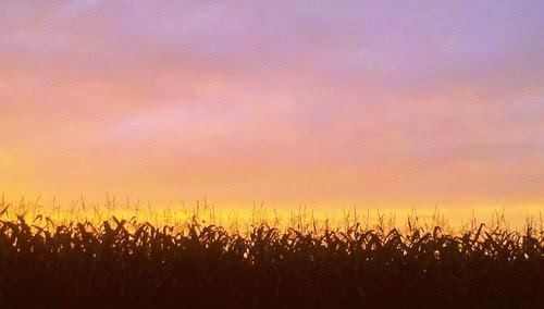 Corn Field & Sunset