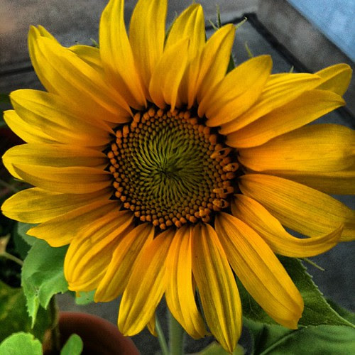 We've got a sunflower! by seanclaes
