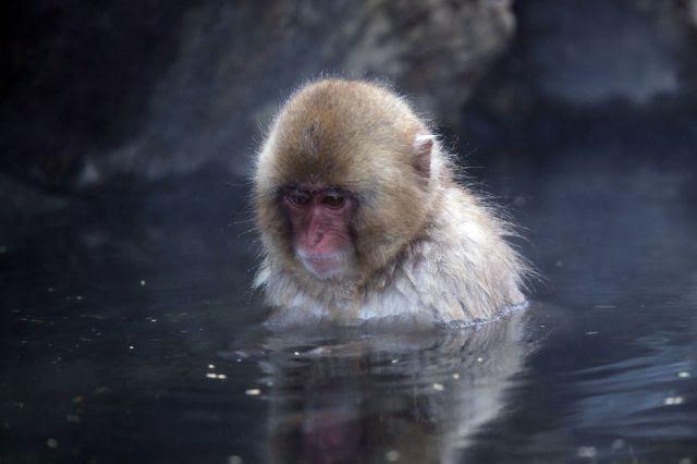 Bathing Monkeys