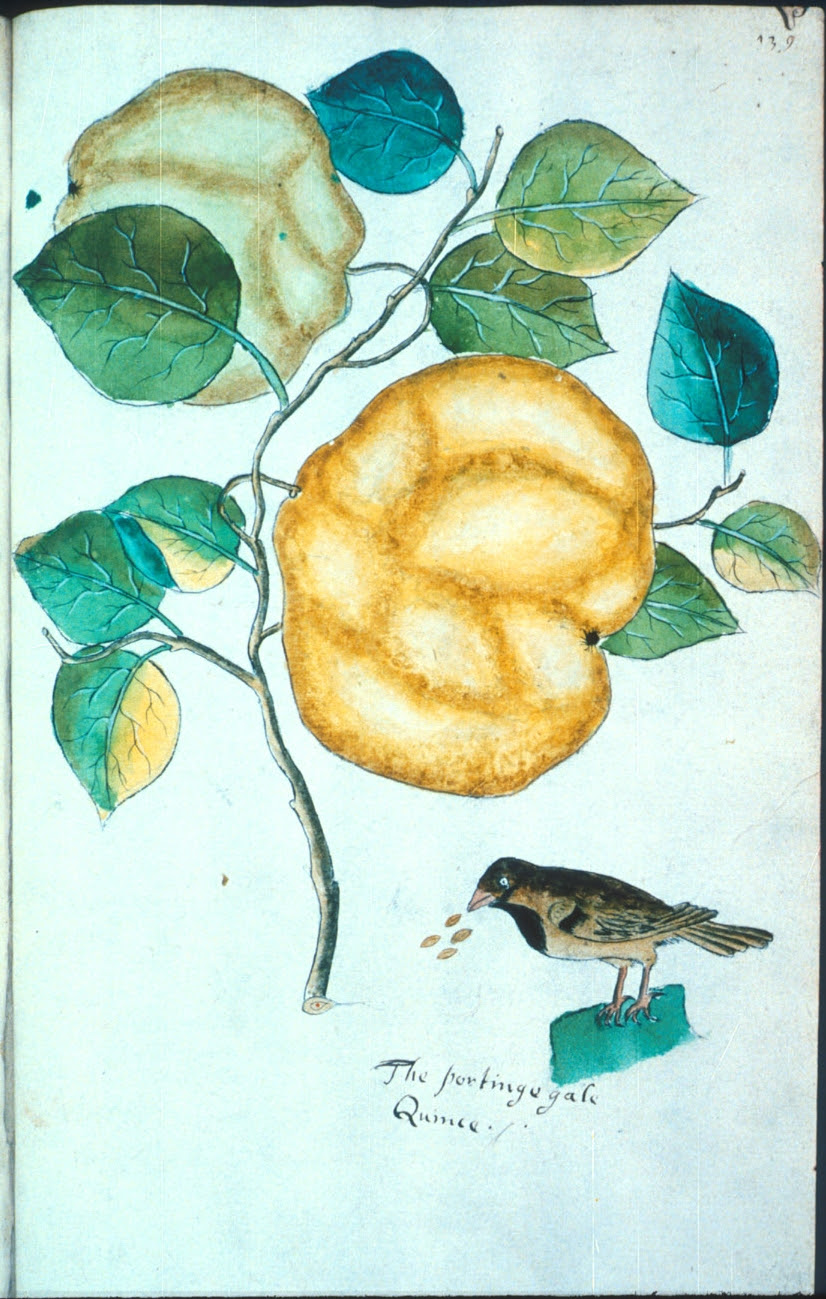 The portingegale Quince