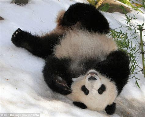 aksi panda  berhadapan camera  unique